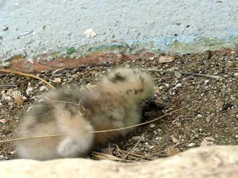 White Tern chick has breakfast