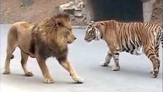 10 Animals That Can Defeat A Lion - Lion VS Prey - Lion VS Predator - Askal