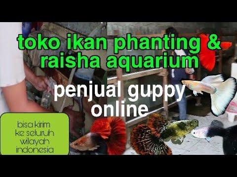 Bisnis guppy online, raup hasil jutaan - YouTube