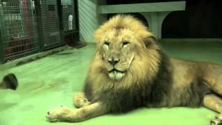 円山動物園のライオン、リッキー(オス/10歳)とティモン(メス/16歳)。 午...