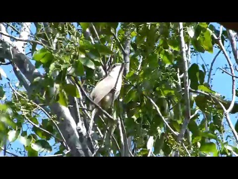 Mangrove Cuckoo in Dagny Johnson KLH Botanical State Park