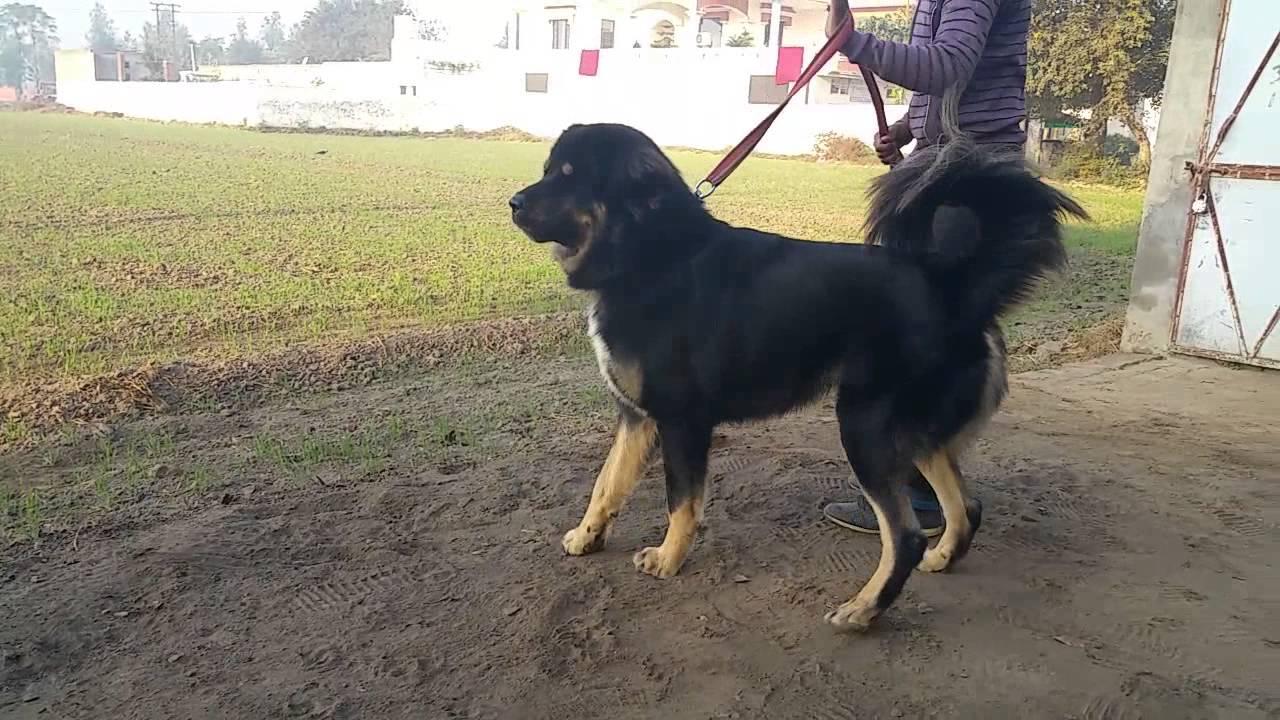 Gaddi dog from Punjab, Leonidas 2 years old