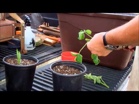 How To Propagate Blackberries The Easy Way