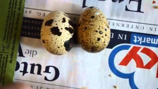 Сравнение яиц Маньчжурских перепелов и Японской перепёлки