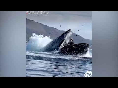 Humpback whale almost swallows kayakers near a California beach | ABC7
