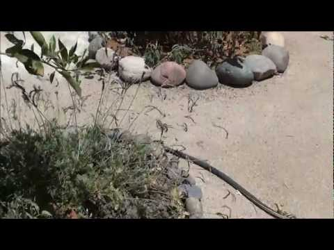 The power of mulch in the desert even in small amounts - Back to Eden garden method