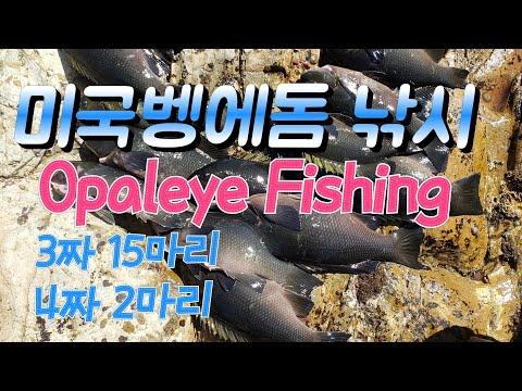 미국 벵에돔 낚시 Opaleye Fishing 80회