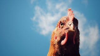chicken-industry-execs-indicted-alleged-price-fixing
