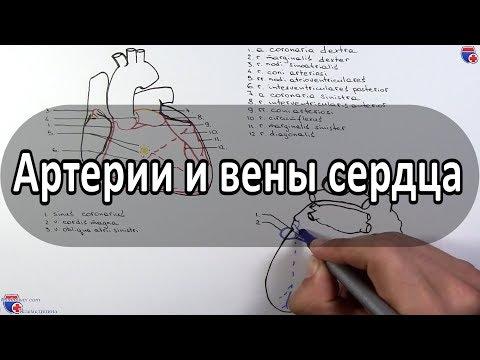 Артерии и вены сердца (кровоснабжение сердца) - Meduniver.com