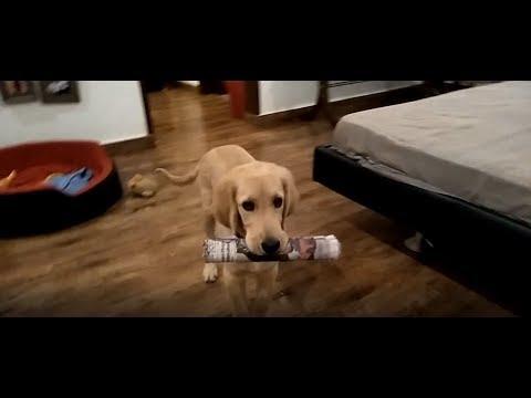 Dogs paper Fetching Training - Bhola Shola