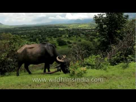 Buffalo grazing in green pasture: Bhandardara, Maharashtra