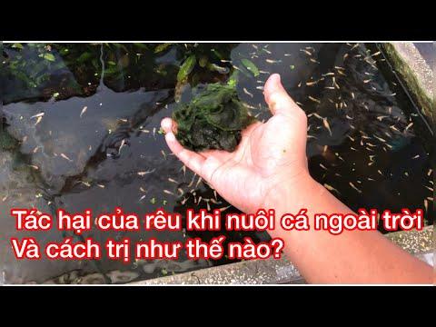 cách nuôi cá ngoài trời không bị rêu