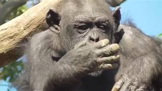 Yokohama's Chimp【Yokohama Zoorasia in Kanagawa , Japan】 thumbnail
