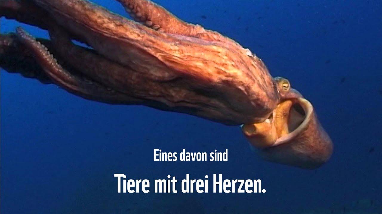 Oktopus Herzen