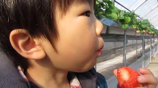 3歳イチゴ狩り