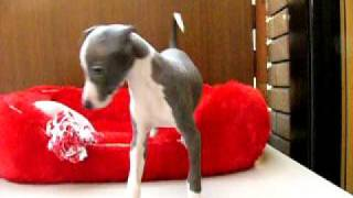 可愛いイタリアングレーハウンドの子犬さん♪ ブルー&ホワイトの女の子...