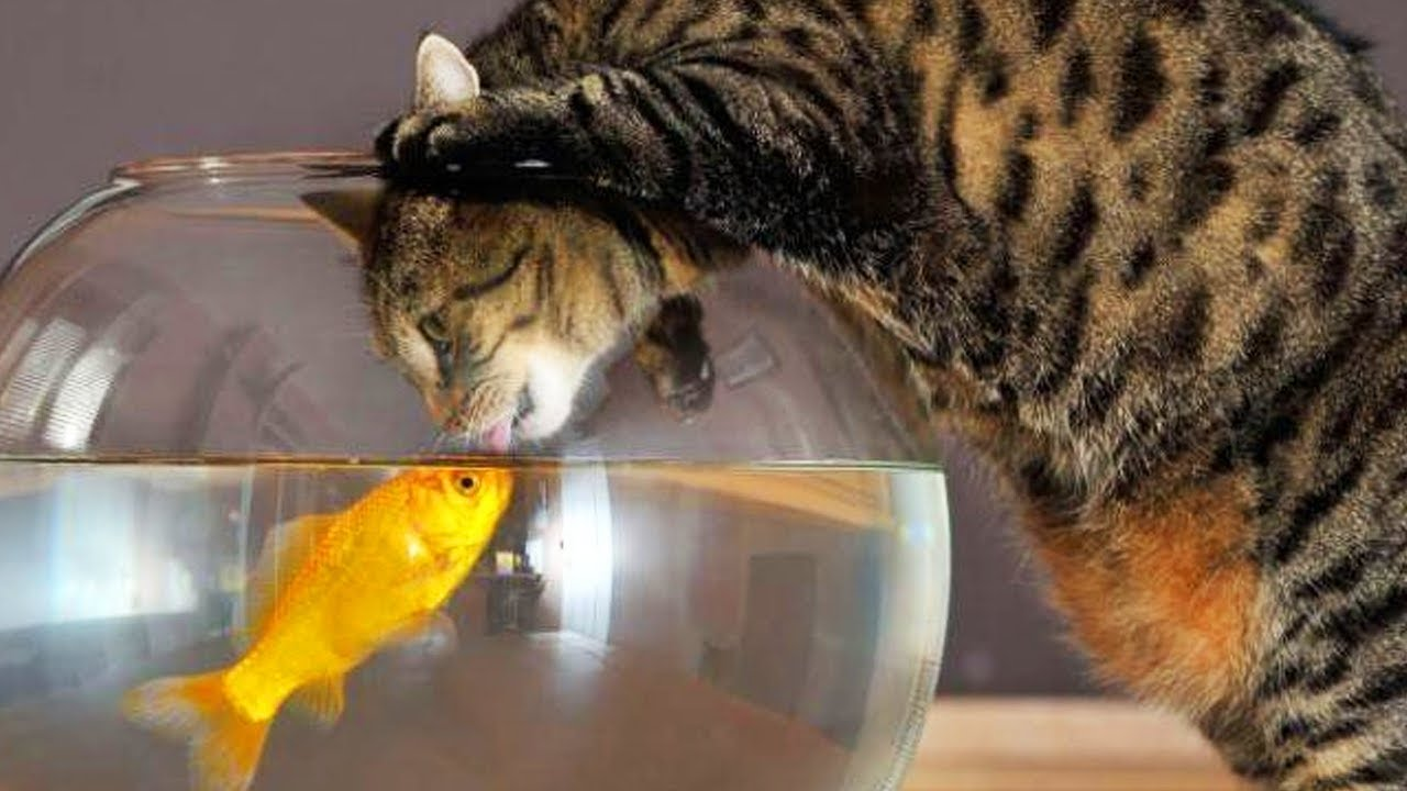 Funny cats and fish cats playing with fish funny pets for Fish videos for cats