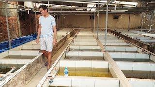 Trại cá 7 màu hoành tráng giữa lòng Sài Gòn | Guppy fish farm in the heart of Ho Chi Minh City