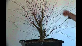 Bonsai styling Japanese maple coral bark pt 1