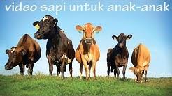 Suara hewan sapi   Video sapi untuk anak anak   Cow Videos for Kids