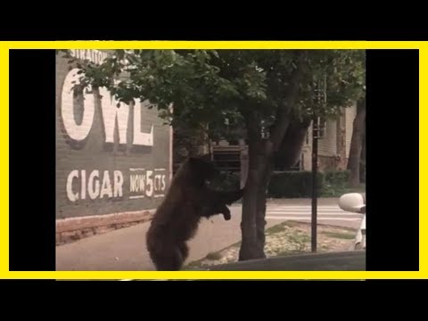 Breaking News | Colorado man films tree 'raining bears' onto the sidewalk