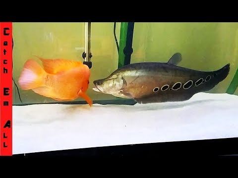 FISH FIGHTING in TANK! Who will SURVIVE!