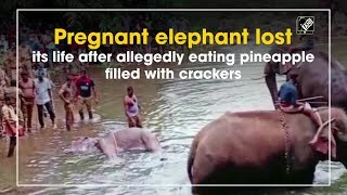 pregnant-elephant-lost-life-allegedly-eating-pineapple-filled-crackers