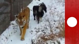 Tiger & goat spark up unlikely friendship in Russia zoo