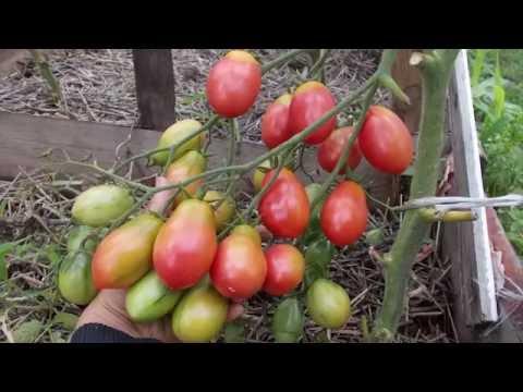 Сорт томата Чио-Чио-Сан