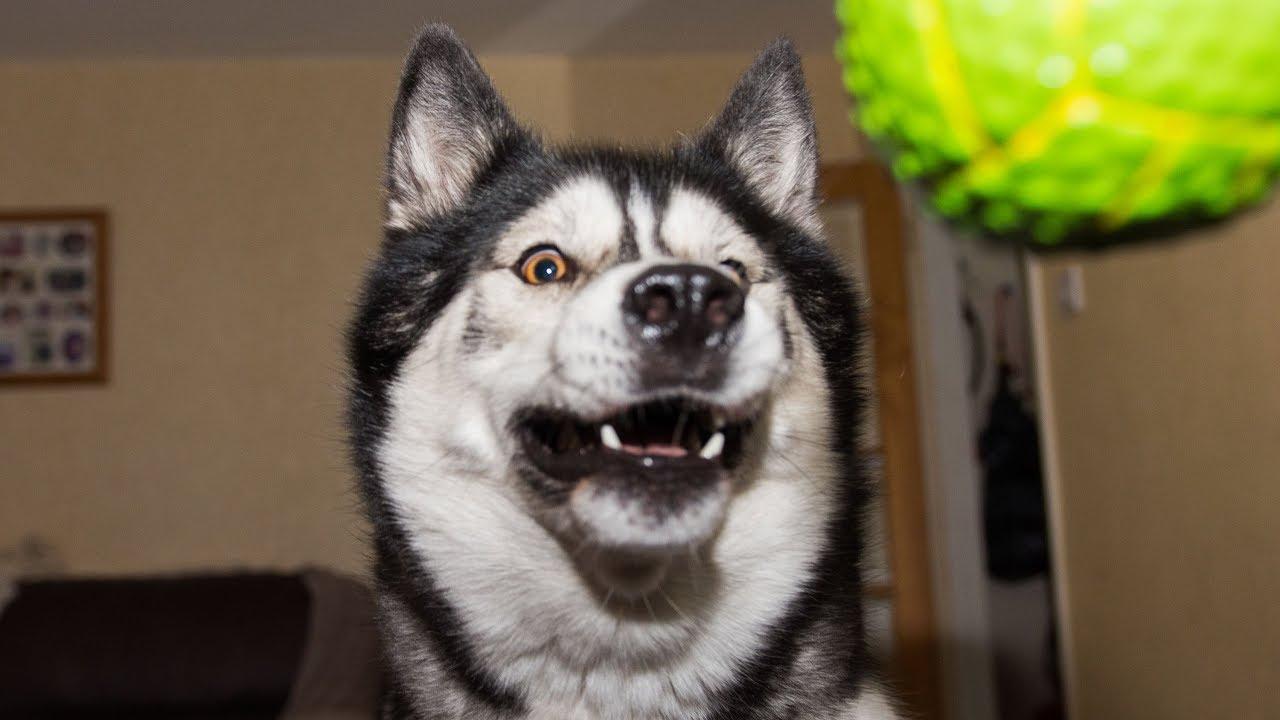 Husky/Malamute Fails to catch