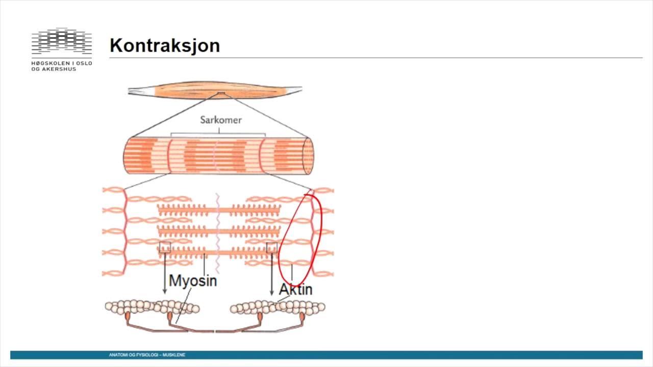 Muskler: Skjelettmuskulatur del2