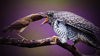 残酷な子育て「カッコウ」の托卵