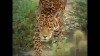 Jaguar vs Nasua / Ягуар против Коати