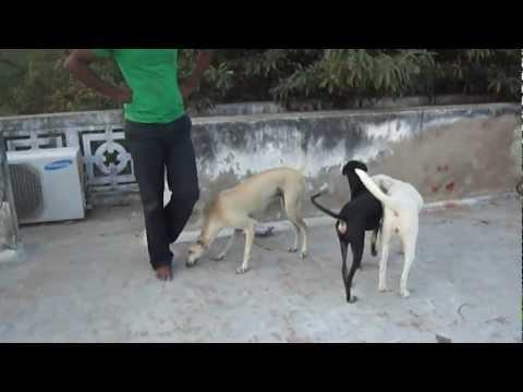 My Tamilnadu Dog Breeds Kanni,Rajapalayam and Chippiparai Hounds - RANIPET
