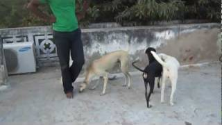 My Tamilnadu Dog Breeds Kanni,Rajapalayam and Chippiparai Hounds - RANIPET
