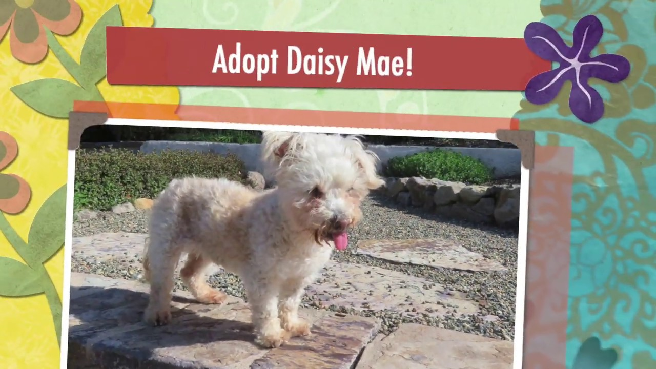 Adopt Daisy Mae! Senior Poodle Mix!
