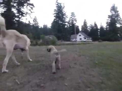 Turkish Boz Shepherd pup vid 2