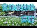 九州最高のボリューム!!宮地嶽神社の菖蒲(iris)まつり!!福岡県福津市!!