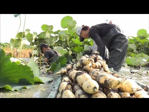 Beautiful Japan Lotus Root Field - Japan Lotus Root Farm And Harvest