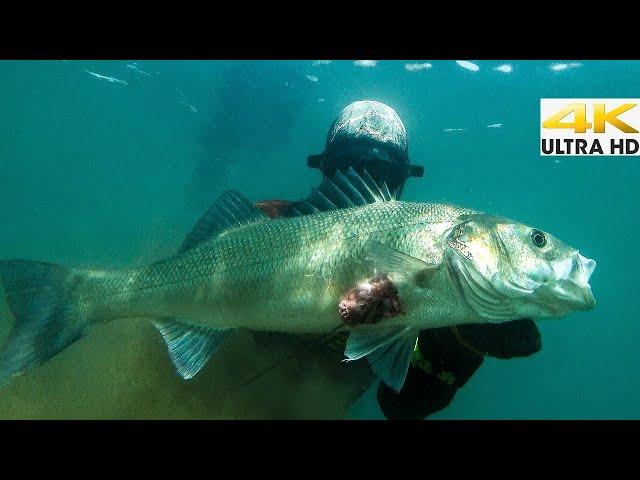 Ρηχό Ψαροντούφεκο με Καμάκι | Spearfishing Life 🇬🇷 [4K]✅