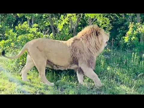 Мы среди разъяренных львов (ПРОДОЛЖЕНИЕ )!