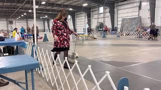 Cesky Terrier Gracy Veteran Best in Show Group