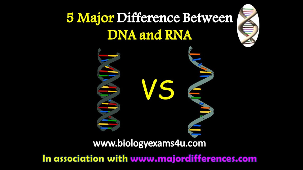 5 Major Differences Between Dna And Rna Dna Vs Rna Youtube