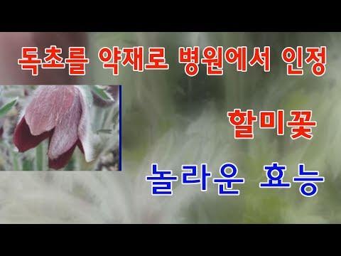 할미꽃 놀라운 효능