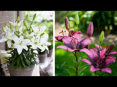 How to plant Asiatic Lilies: Jeff Turner plants short stemmed Lilies
