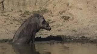 Guziec przy wodopoju  -    świat zwierząt Afryki ,, Safari