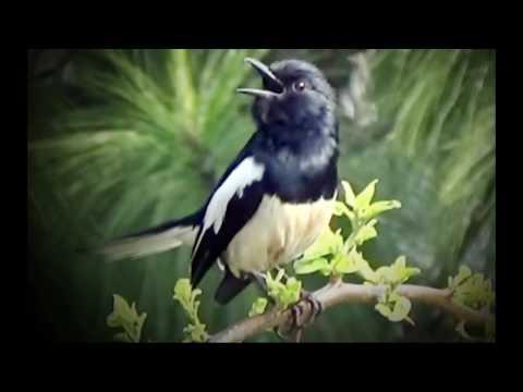 Masteran Kacer - Kompilasi Suara Nyanyian-Siulan Kacer