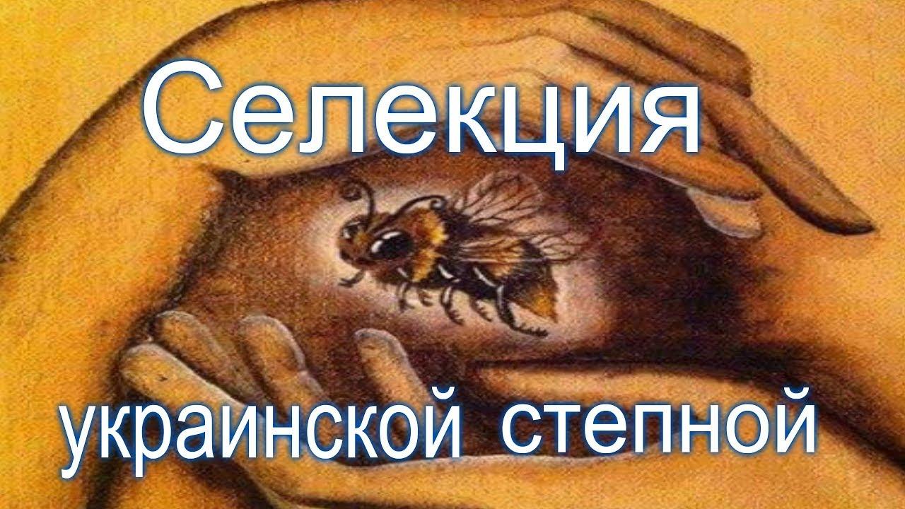 №1 Селекция Украинской степной породы пчел