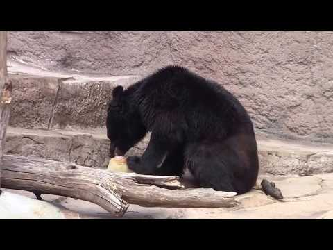 #18 Sep 2017 Asian black bear at Tennoji zoo, Osaka, Japan