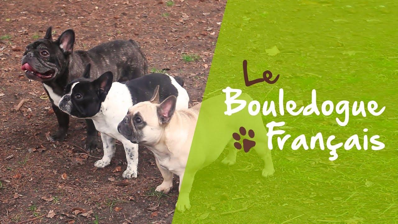 Bouledogue Francais Caractere Sante Alimentation Prix Et Entretien